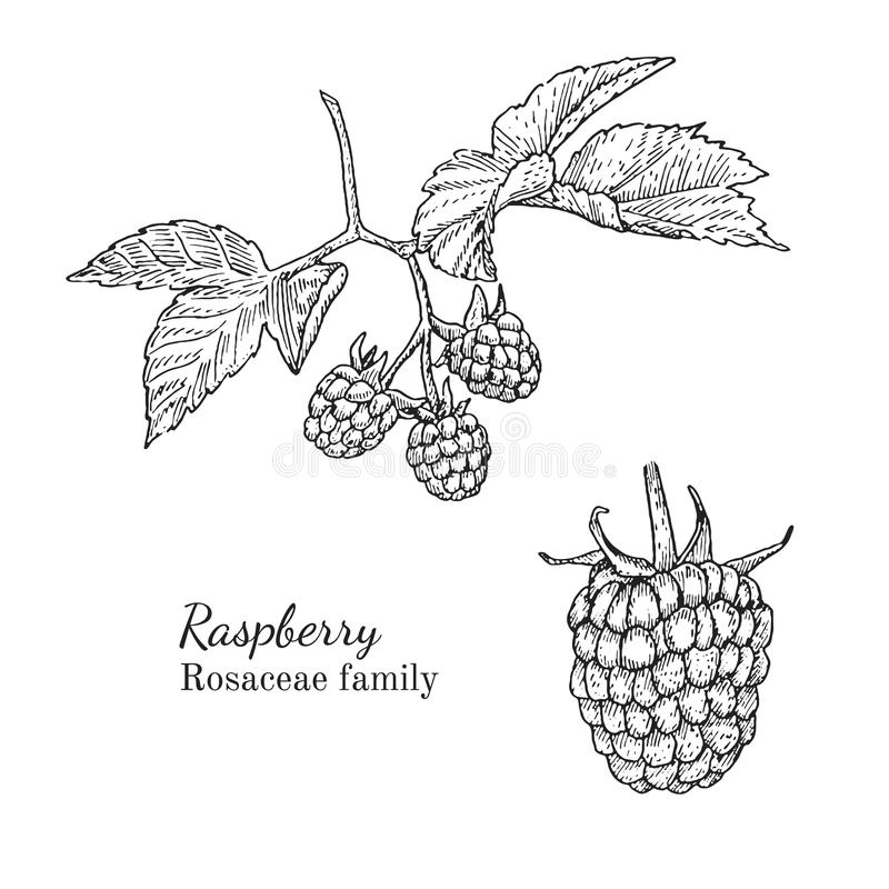 Raspberry Vector Illustration Of Ink Hand Drawn Berry