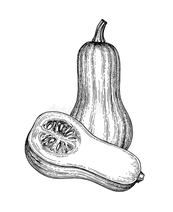 Ink sketch of butternut squash. Isolated on white background. Hand drawn vector illustration. Retro style royalty free illustration