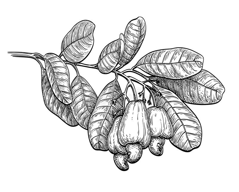Ink sketch of cashew branch. Isolated on white background. Hand drawn vector illustration. Retro style vector illustration