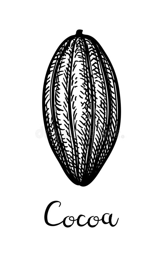 Ink sketch of cocoa. Cocoa pod. Ink sketch isolated on white background. Hand drawn vector illustration. Retro style vector illustration