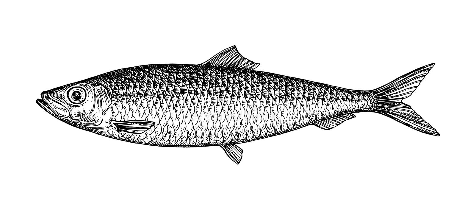 Ink sketch of herring. Hand drawn vector illustration of fish isolated on white background. Retro style royalty free illustration