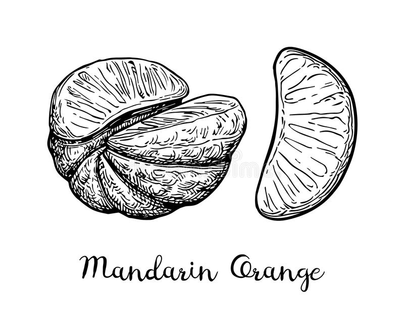 Ink sketch of mandarin orange. Ink sketch of mandarin orange without peel. Isolated on white background. Hand drawn vector illustration. Retro style royalty free illustration