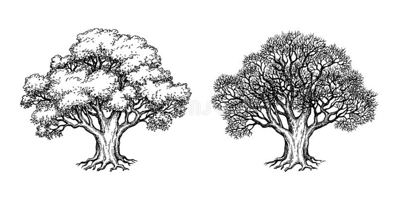 Ink sketch of oak tree. Ink sketch of two oaks. Winter and summer tree. Hand drawn vector illustration isolated on white background. Retro style stock illustration