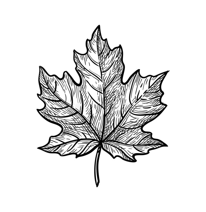 Free Ink Sketch Of Maple Leaf. Stock Photo - 161022970