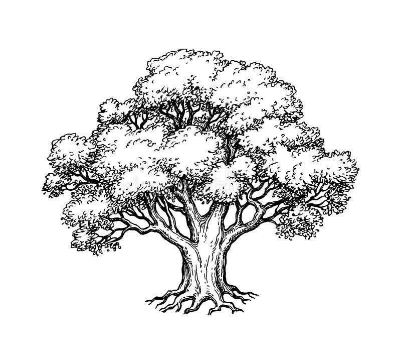 Free Ink Sketch Of Oak Tree. Stock Images - 130710904
