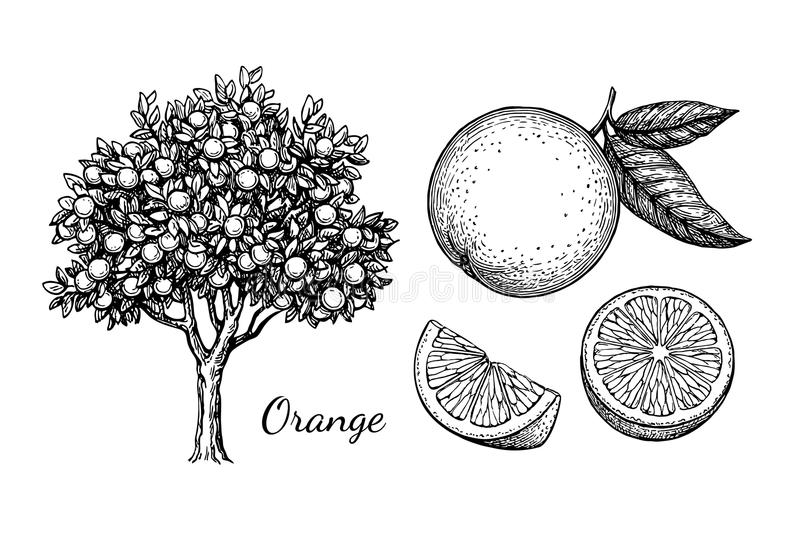 Ink sketch of orange. Orange set. Isolated on white background. Hand drawn vector illustration. Retro style ink sketch stock illustration