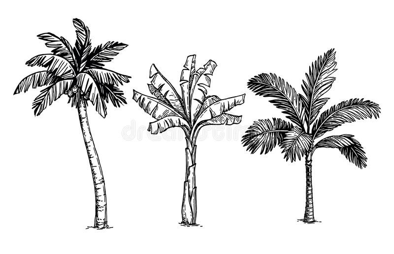Ink sketch of palm trees. Isolated on white background. Hand drawn vector illustration. Retro style royalty free illustration