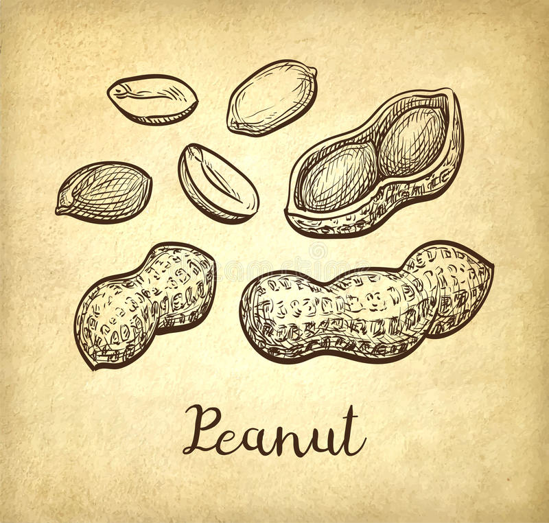Ink sketch of peanuts. Peanut set. Ink sketch of nuts. Hand drawn vector illustration. Old paper background. Retro style stock illustration