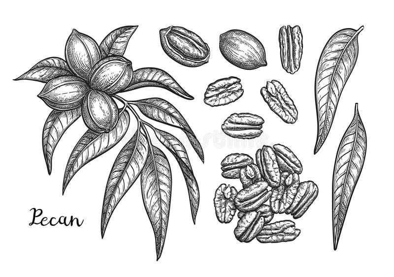 Ink sketch of pecan. Pecan set. Ink sketch of nuts. Hand drawn vector illustration. Isolated on white background. Retro style stock illustration