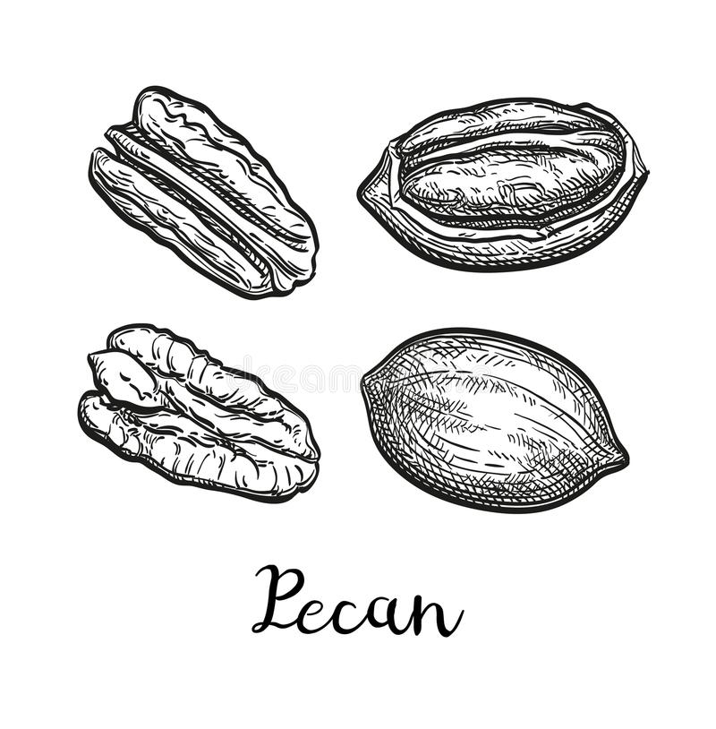 Ink sketch of pecan. Pecan set. Ink sketch of nuts. Hand drawn vector illustration. Isolated on white background. Retro style vector illustration