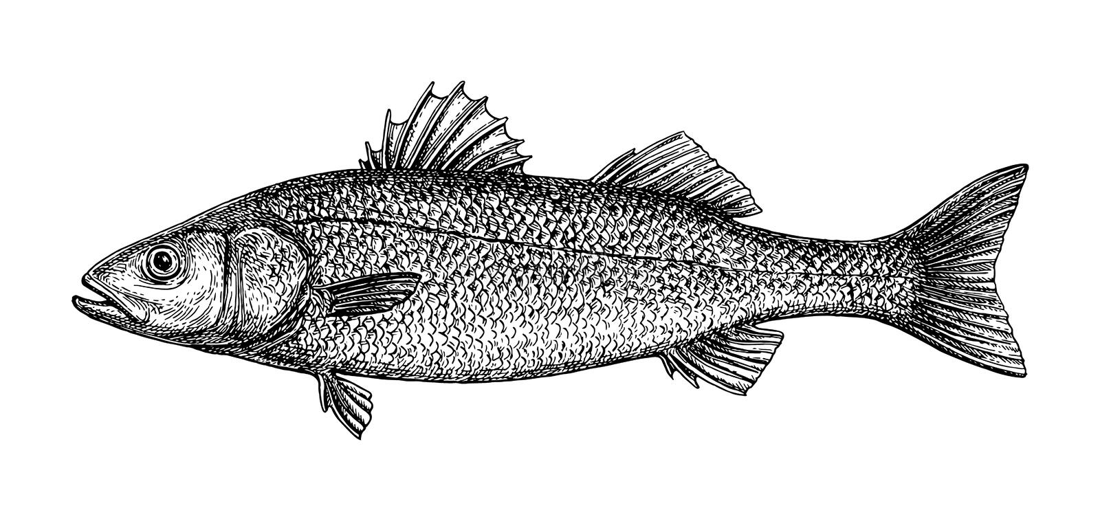 Ink sketch of European bass. Ink sketch of sea bass. Hand drawn vector illustration of fish isolated on white background. Retro style vector illustration