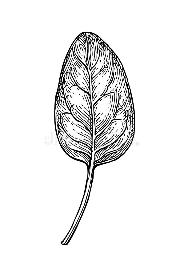 Ink sketch of spinach. Isolated on white background. Hand drawn vector illustration. Retro style stock illustration