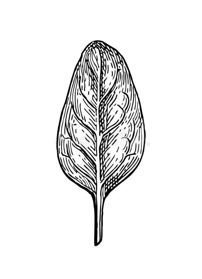 Ink sketch of spinach. Isolated on white background. Hand drawn vector illustration. Retro style royalty free illustration