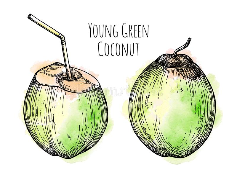 Ink sketch of young green coconut. royalty free illustration