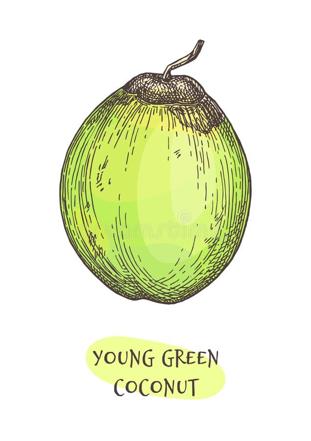 Ink sketch of young green coconut. stock illustration