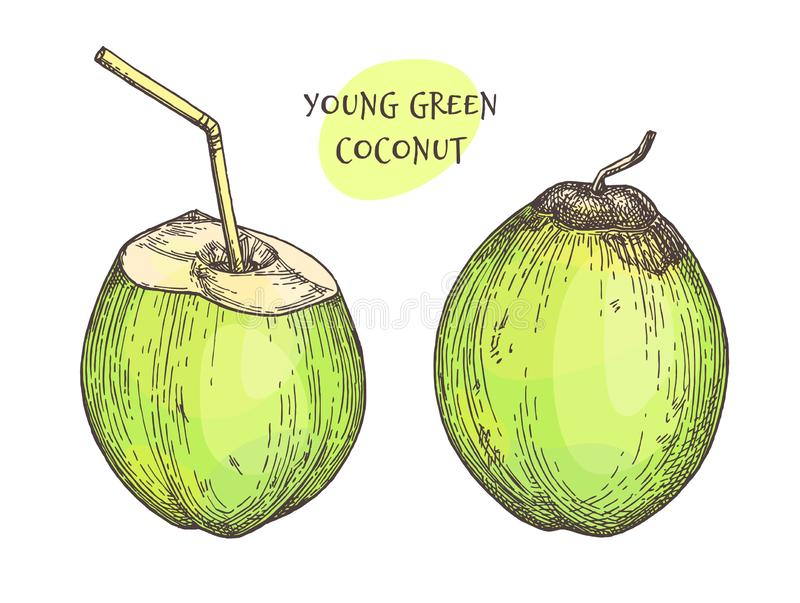 Ink sketch of young green coconuts. vector illustration