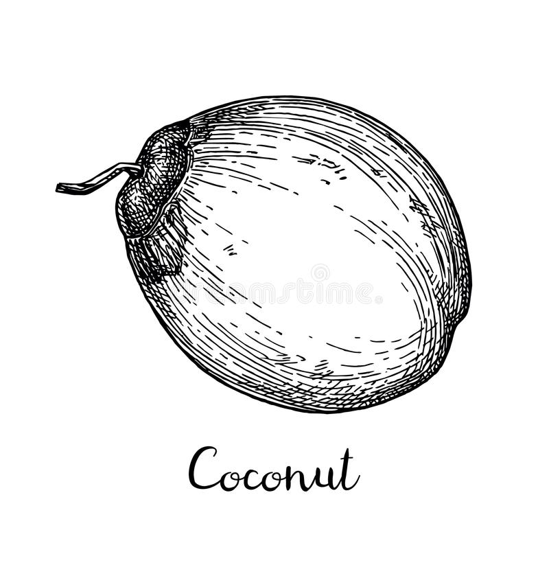 Ink sketch of young green coconuts. royalty free illustration