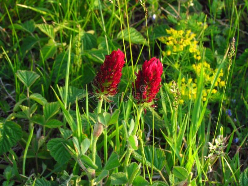 Inkarnat-Klee,植物学名字车轴草incarnatum,作为饲料使用的深红三叶草,农业植物特写镜头  免版税库存图片