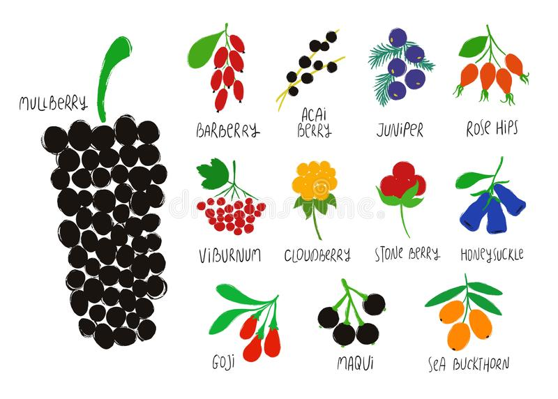 Inkasowe Lub Kolorowe Odosobnione jagody royalty ilustracja