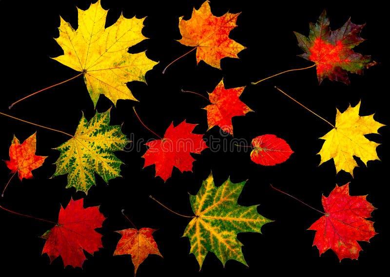Inkasowi colourful jesień liście odizolowywający na czarnym tle fotografia stock
