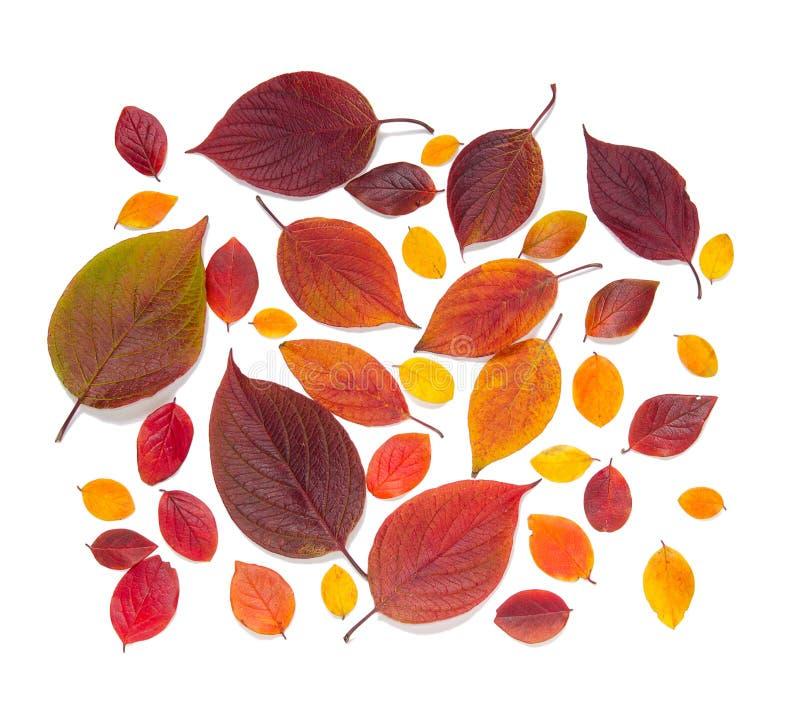 Inkasowi piękni kolorowi jesień liście odizolowywający na białym tle fotografia royalty free
