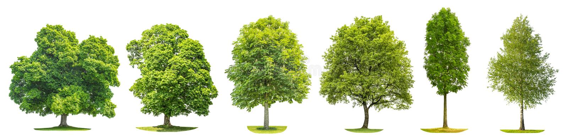 Inkasowy klonowy dębowy kasztan Odizolowywający drzewo brzozy natury przedmiot obrazy royalty free