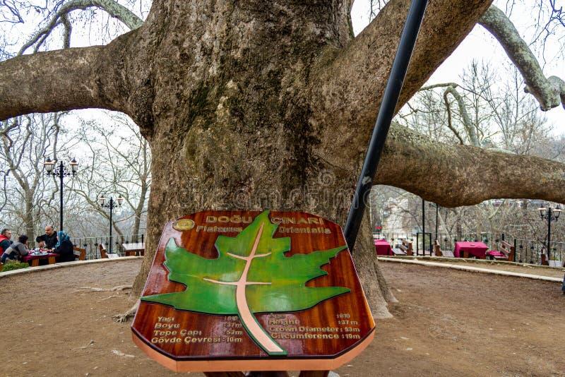 Historic old big plane tree. Bursa, Turkey. Inkaya, Osmangazi, Bursa / Turkey - January 22 2019: Historic old big plane tree stock images