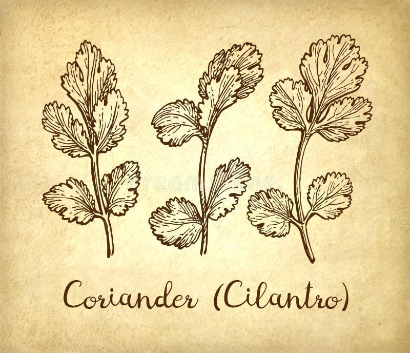 Inktschets van koriander stock illustratie