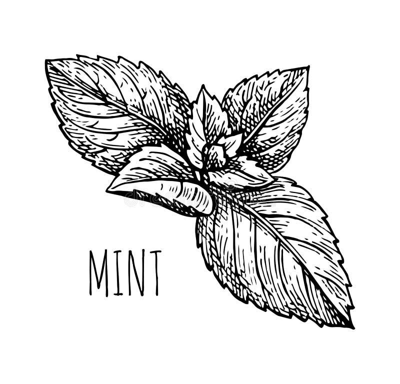 Inktschets van munt vector illustratie