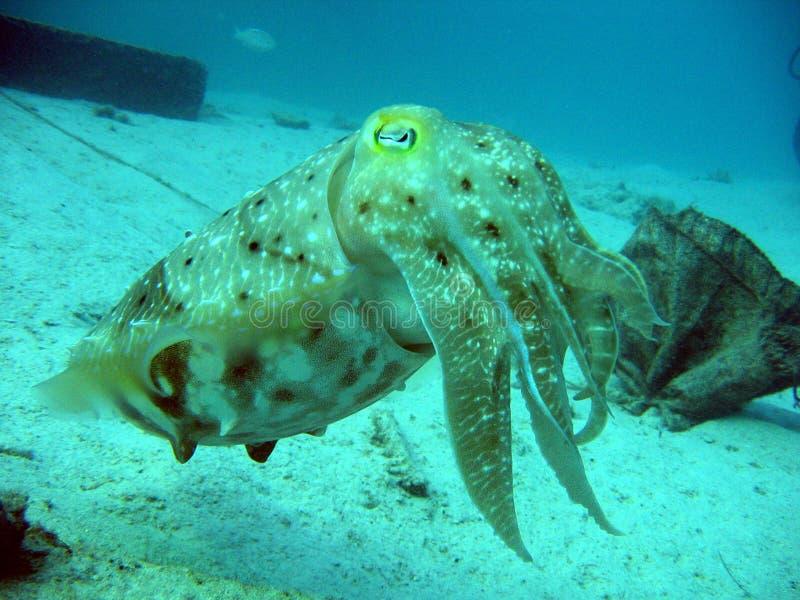 Download Inktvissen stock afbeelding. Afbeelding bestaande uit tentakels - 29795
