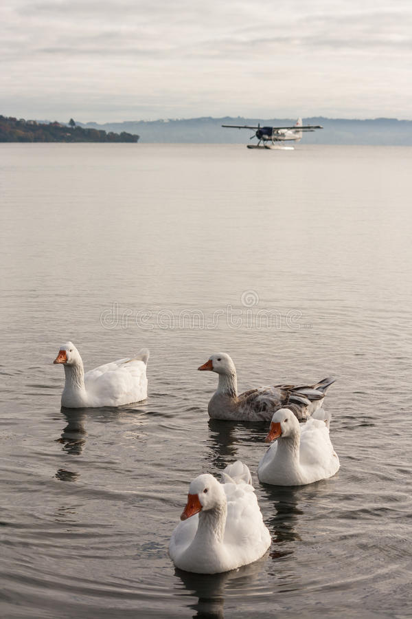 Inländische Gänse auf See Rotorua lizenzfreies stockbild