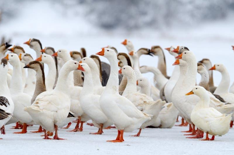 Inländische Gänse im Freien im Winter lizenzfreie stockfotos