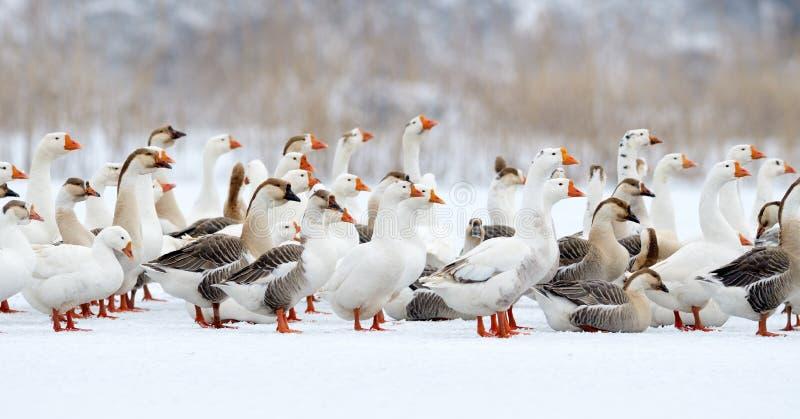 Inländische Gänse im Freien im Winter stockfotos
