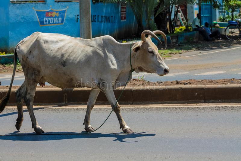 Inländische Kuh, die auf die Stadtstraße in Afrika geht lizenzfreies stockbild