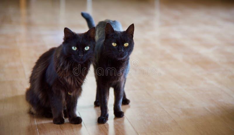 Inländische schwarze Katzen lizenzfreie stockfotografie
