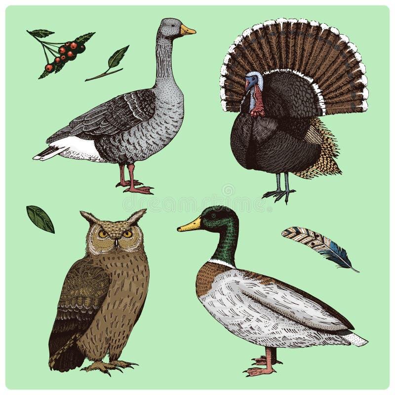Inländische und wilde Vögel Die Türkei und Ente Gans und Uhu gravierte Hand gezeichnet in alte Skizze, Weinleseart für stock abbildung