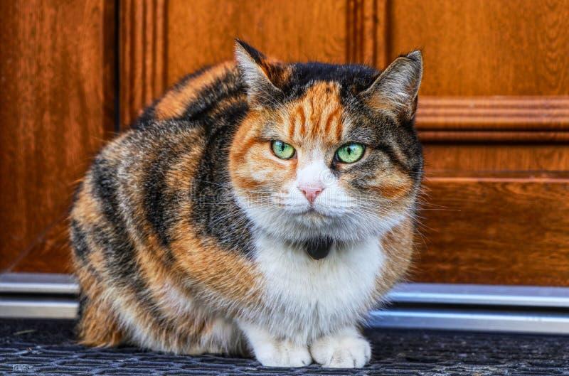 Inländische verärgerte Katze, die vor Eingangstür sitzt Kätzchen ist wütend Buntes Felis catus, das auf offene Tür wartet Ver?rge stockbild