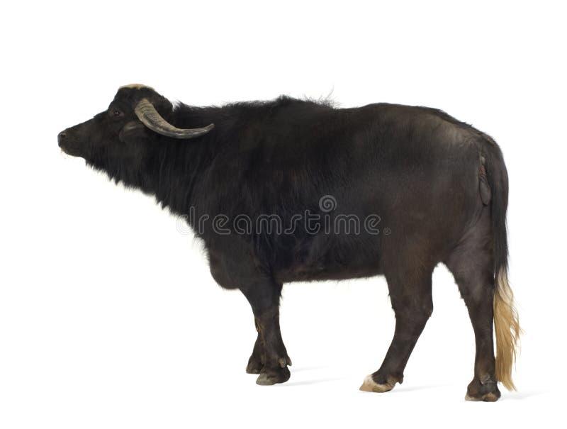 Inländischer asiatischer Wasserbüffel - Bubalus bubalis lizenzfreie stockfotos