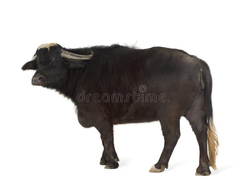 Inländischer asiatischer Wasserbüffel - Bubalus bubalis stockfotografie
