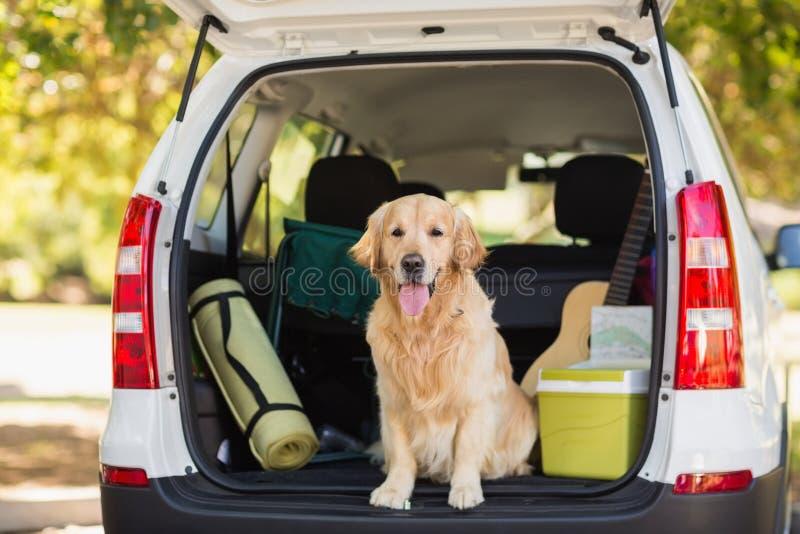 Inländischer Hund im Autokofferraum stockfotos