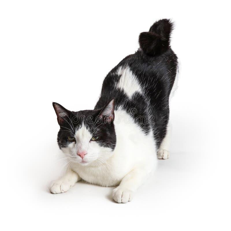 Inländischer Shorthair Cat Raising Behind in einer Luft stockbild