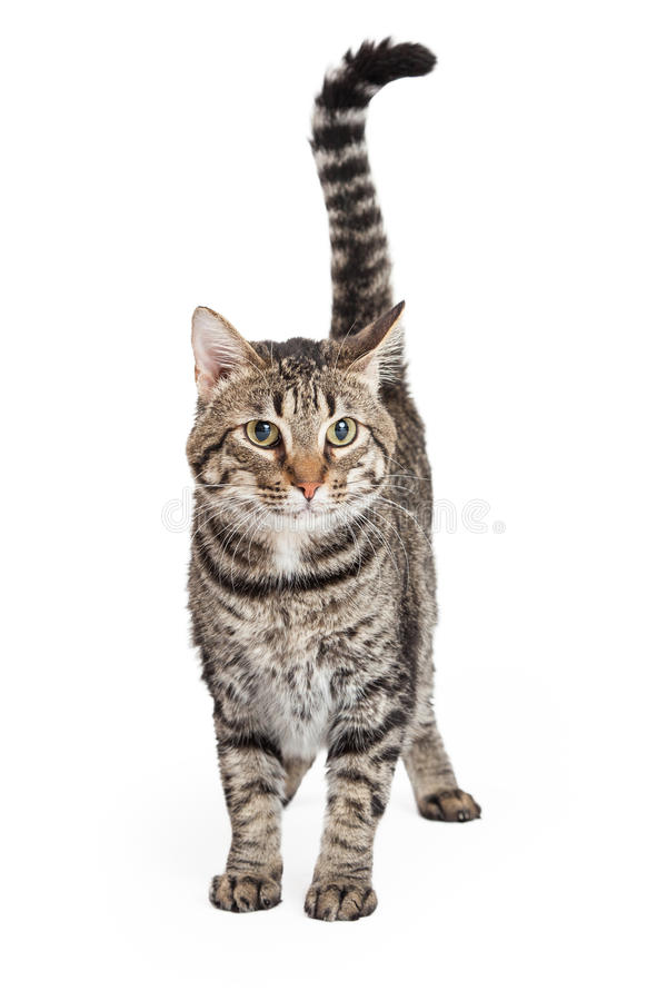 Inländischer Shorthair Tabby Cat Standing stockfotos