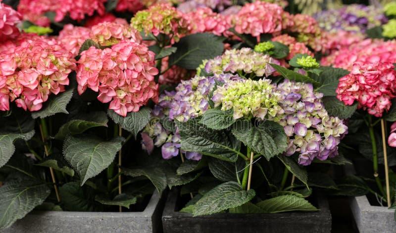 Inlagd blommor för rosa och violett vanlig hortensia eller vanlig hortensiamacrophylla royaltyfri foto