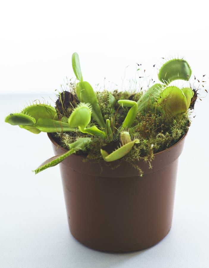 Inlagd rovdjur Venus Flytrap, Dionaea Muscipula royaltyfri bild