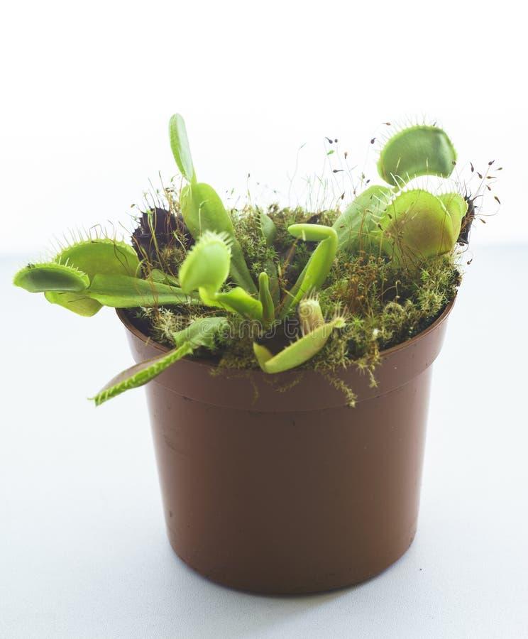 Inlagd rovdjur Venus Flytrap, Dionaea Muscipula royaltyfria foton