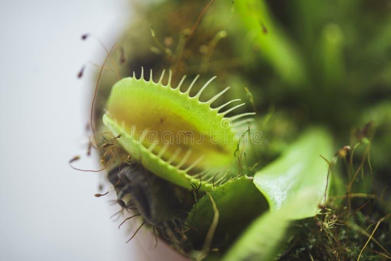 Inlagd rovdjur Venus Flytrap, Dionaea Muscipula royaltyfri fotografi