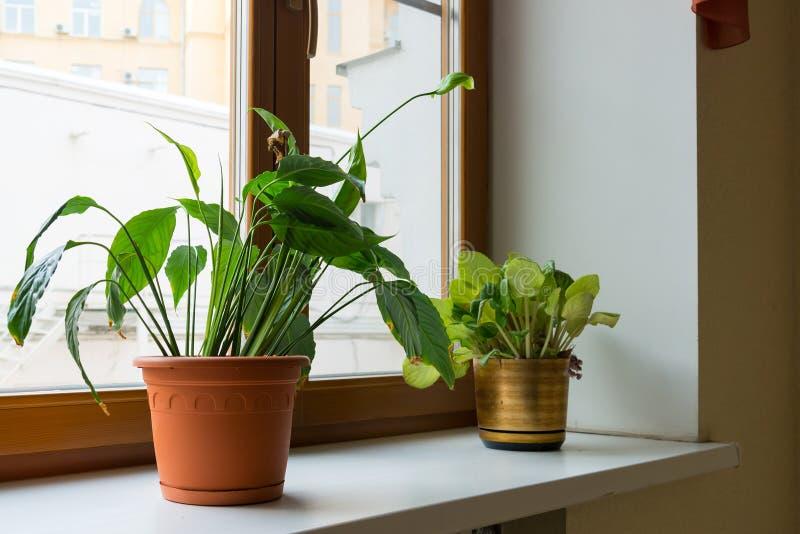 Inlagd ställning för blomma två på fönsterbräda royaltyfri foto