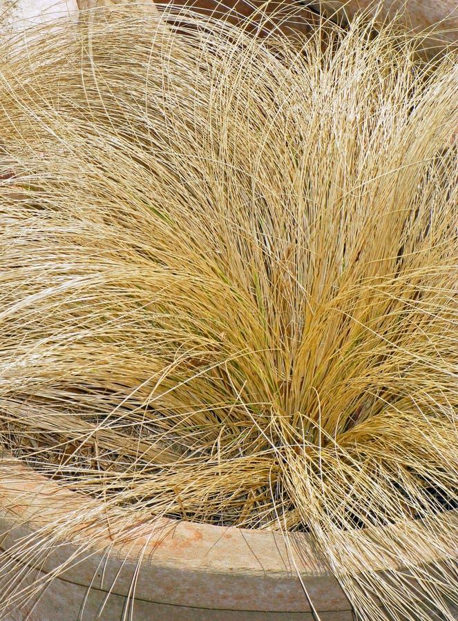 Inlagda Autumn Dormant Straw Plant arkivfoton