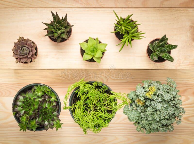 Inlagda suckulentväxter på träbakgrund royaltyfri foto