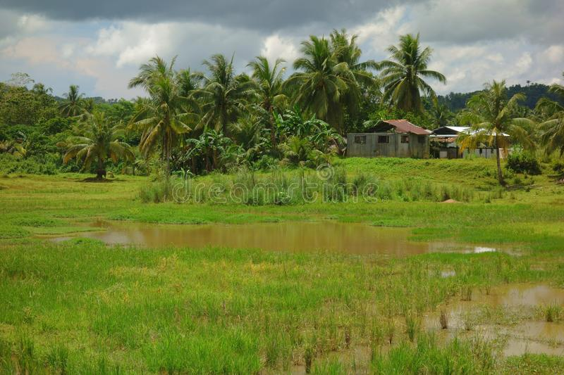 Tropical landscape with rice field royalty free stock image